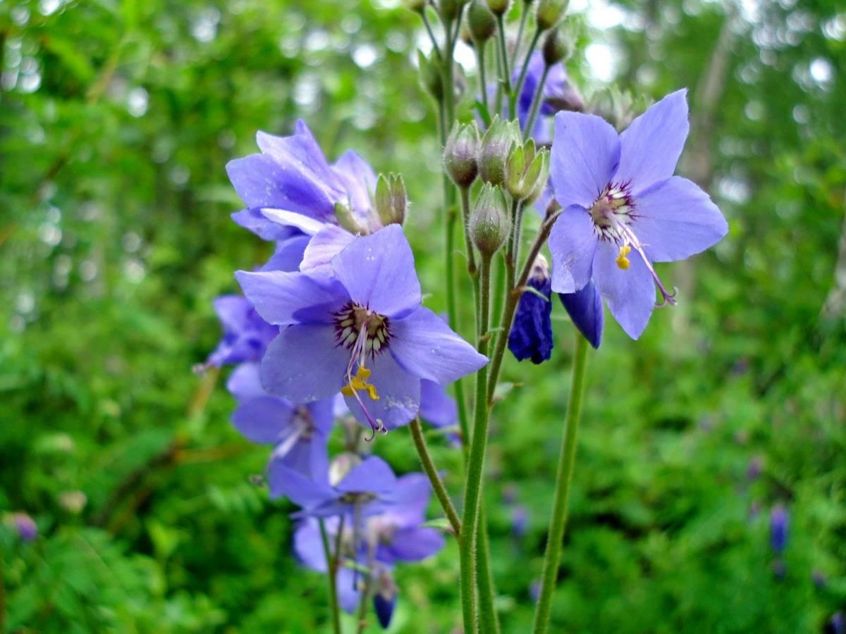 Синюха голубая: применение и противопоказания, фото и отзывы