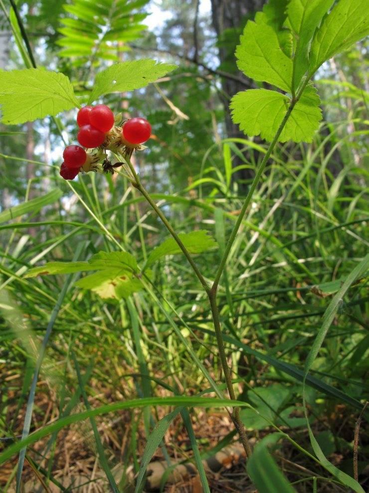 Свойства костяники — описание применения ягод и листьев лекарственного растения (135 фото и видео)