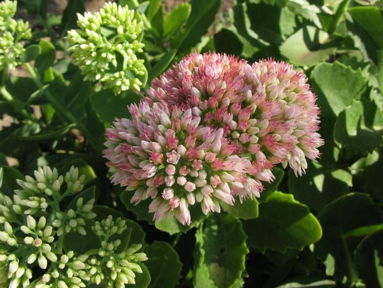 Многолетнее растение очиток едкий. описание, посадка, уход, размножение и полезные свойства