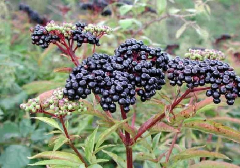 Черная бузина: полезные свойства, противопоказания, польза и вред