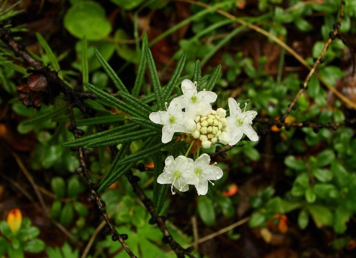 Багульник болотный: польза и применение в медицине