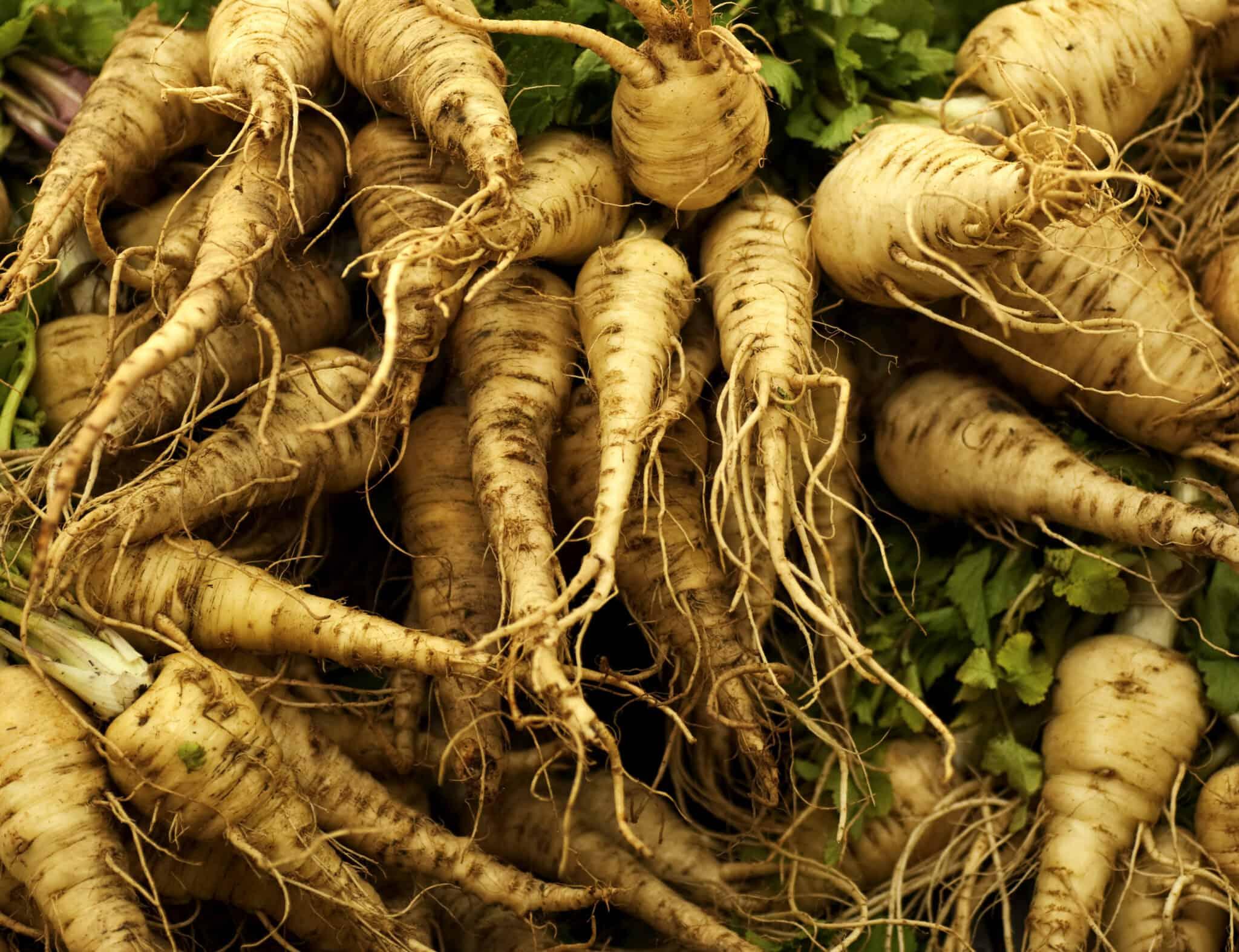 Польза пастернака — полезные свойства овоща, противопоказания, состав и свойства (135 фото и видео)