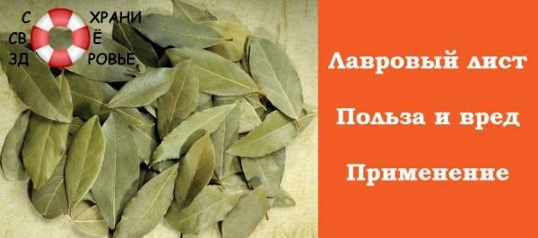 Лавровый лист: польза и вред для организма