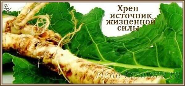 Хрен: польза и вред для здоровья. лечебные свойства растения