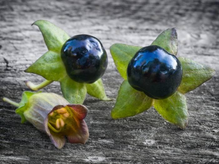 Красавка обыкновенная (белладонна) – atropa belladonna l.семейство пасленовые – solanaceae