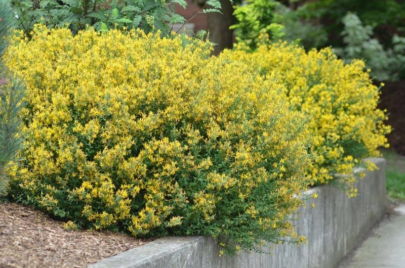 Декоративное растение дрок красильный