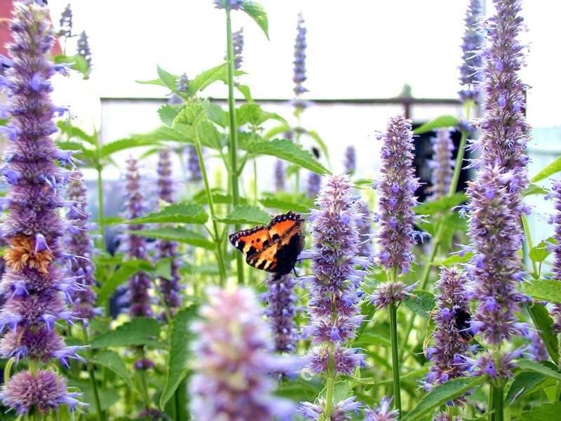 Полезные свойства и вред травы лофант для организма