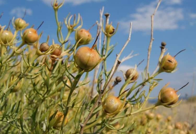 Трава могильник (гармала): лечебные свойства, где растет, описание, противопоказания, применение в народной медицине, фото