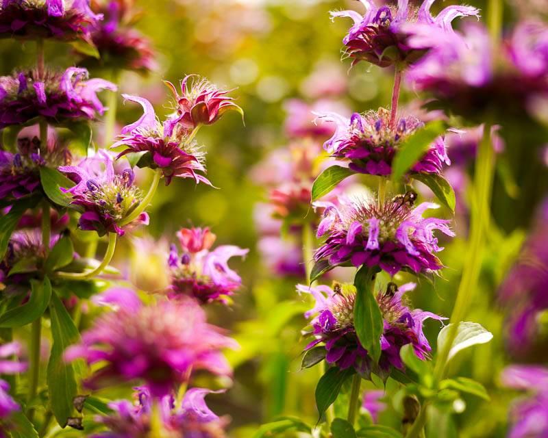 Вкусный цветок: применение и лечебные свойства монарды