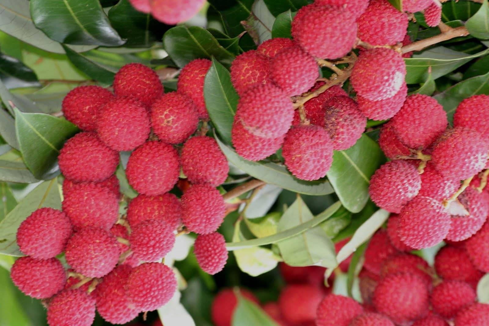 Клубничное дерево - выращивание и полезные свойства кудрании