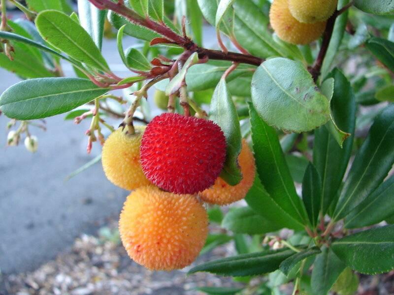 Земляничное дерево (плоды): описание, состав и польза