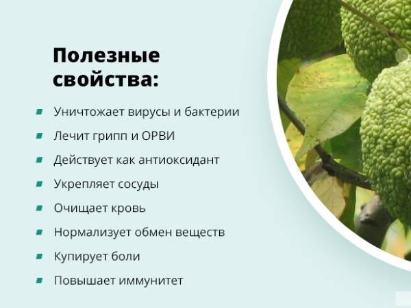 Адамово яблоко (маклюра), его лечебные свойства и противопоказания