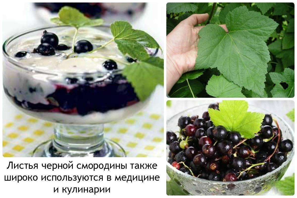 Листья черной смородины — полезные и лечебные свойства