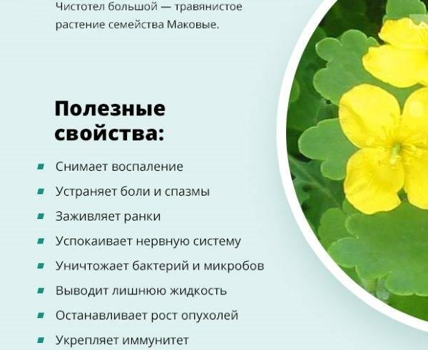 Сок чистотела: целебные свойства растения и противопоказания, рецепты