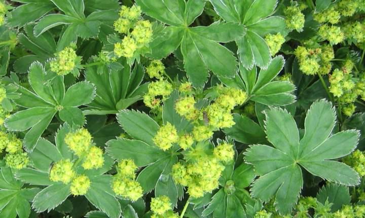 Манжетка обыкновенная: полезные свойства, применение растения и противопоказания