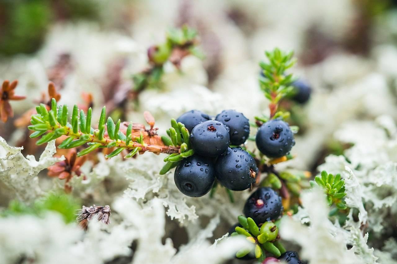 Шикша (вороника): полезные свойства и противопоказания ягод