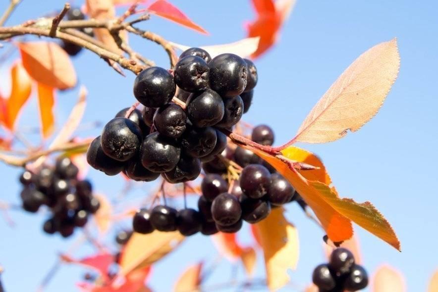 Черноплодная рябина, польза и вред для здоровья человека