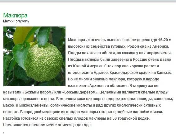 Настойка маклюры (адамова яблока) – полезные свойства, применение