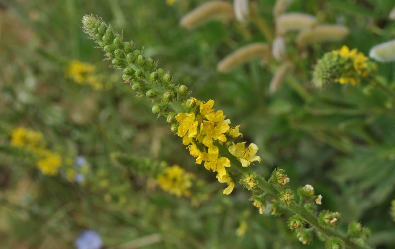 Донник желтый. донник: лечебные свойства и противопоказания