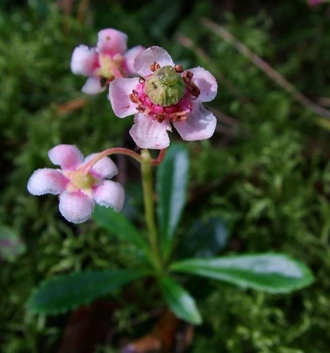 Трава зимолюбка: лечебные свойства и противопоказания, фото, посадка и уход