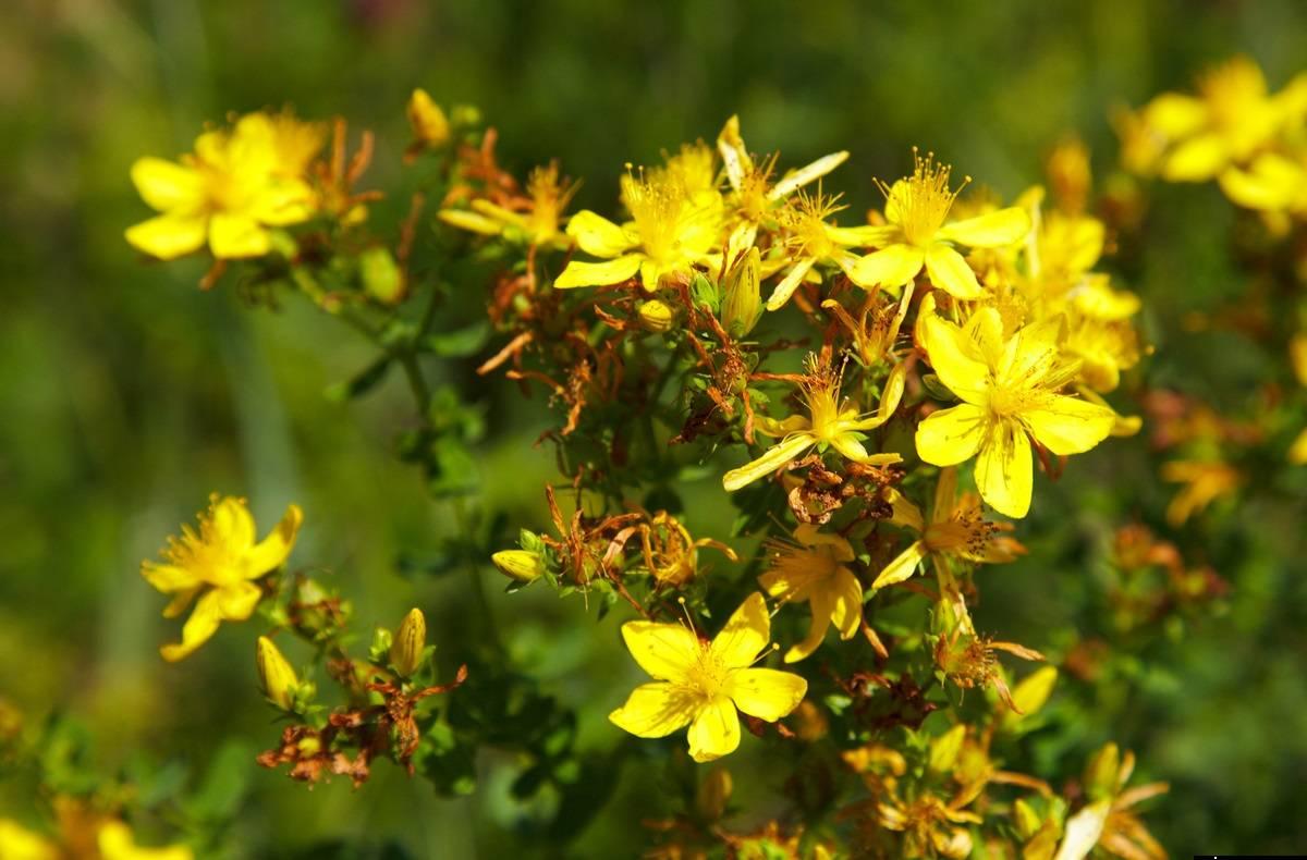 Лечебные свойства травы зверобой: средство от 99 болезней