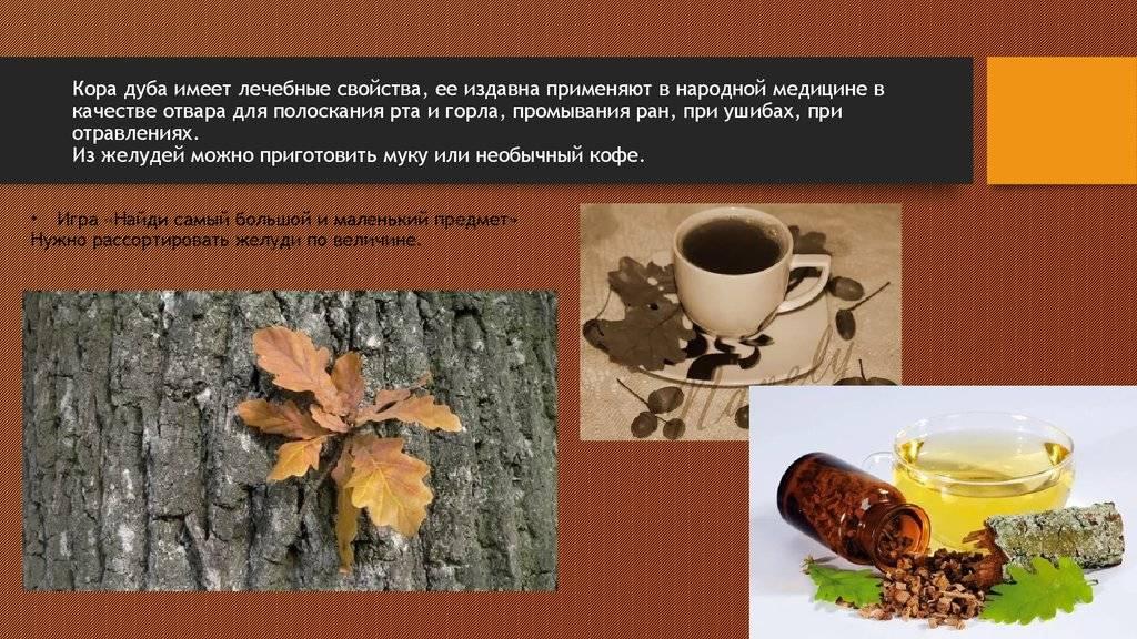 Как применяется кора дуба: лечебные свойства и противопоказания