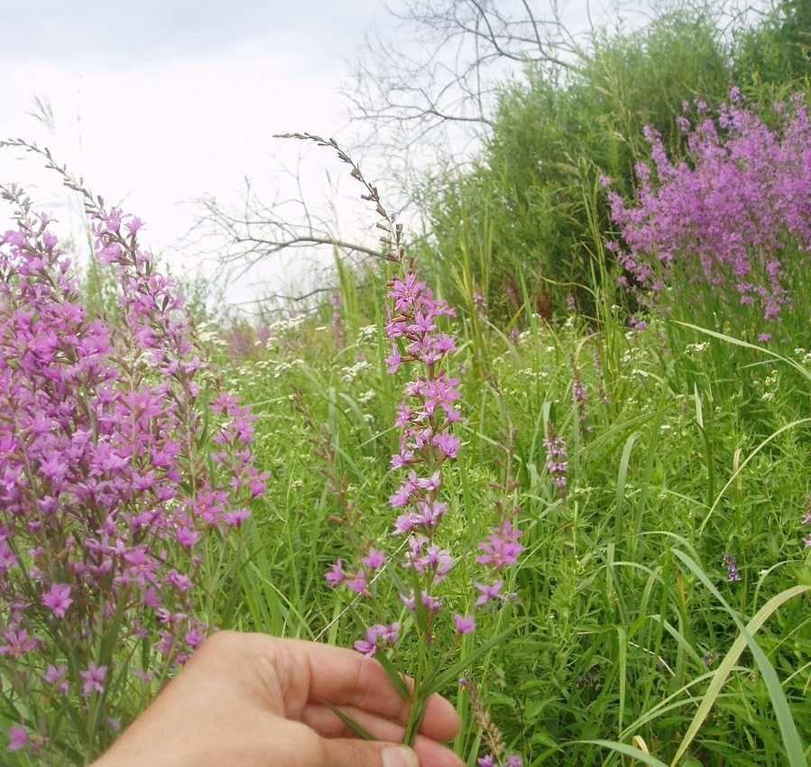 Дербенник иволистный (плакун-трава): описание, полезные свойства, применение
