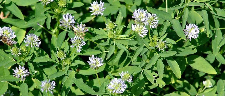Уникальный натуральный ингредиент для здоровья – пажитник: польза и вред