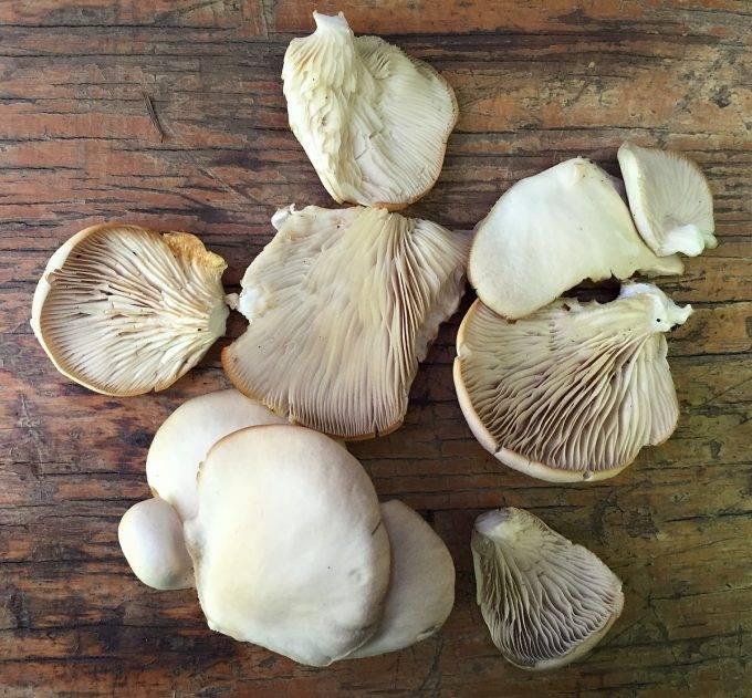 Польза и вред грибов вешенки для человека