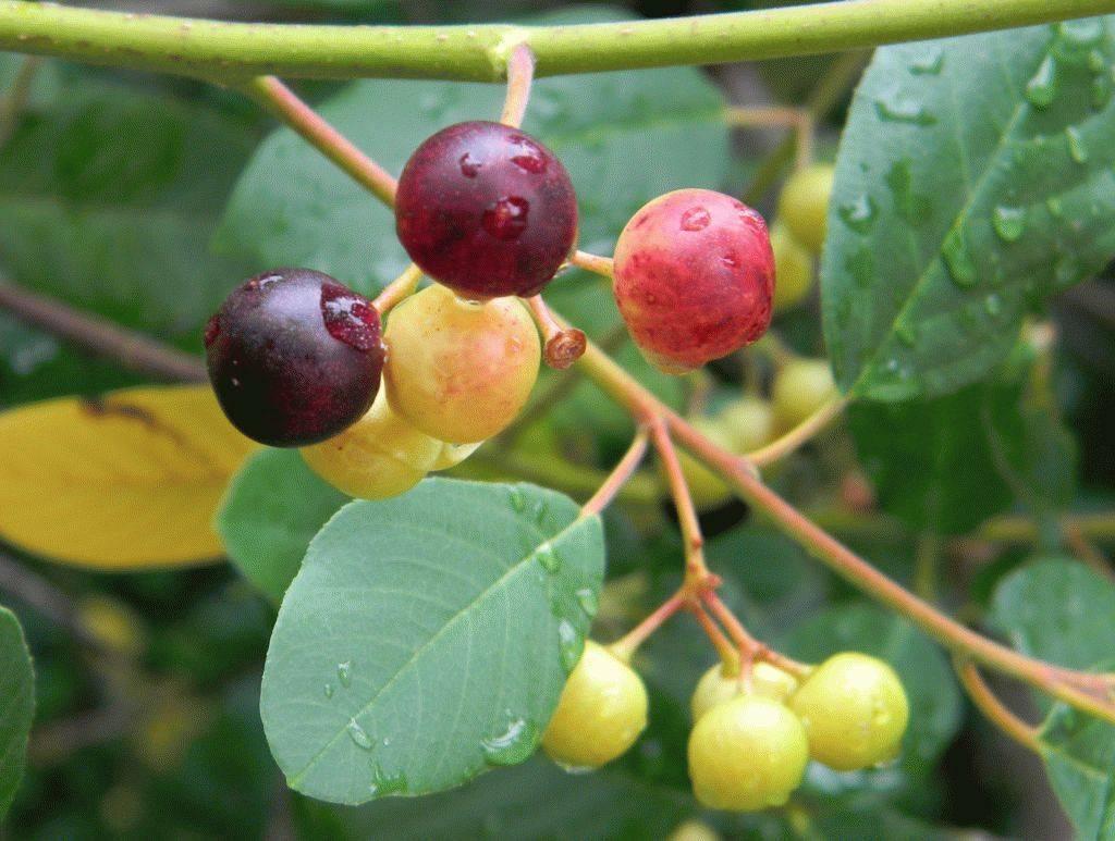 Лечебные свойства коры крушины, показания и противопоказания к применению