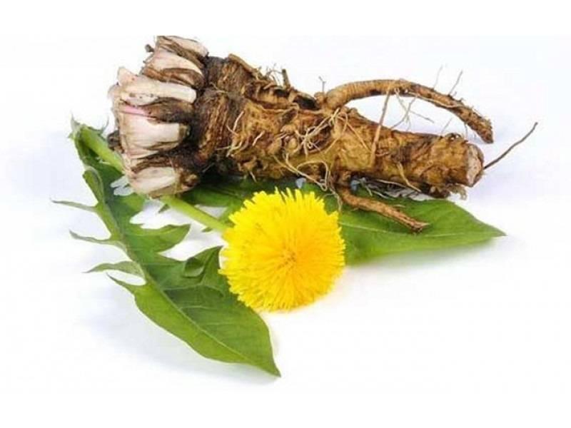 Лечебные свойства корня одуванчика для нашего здоровья