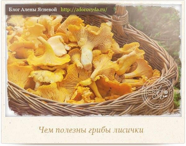 «лесные обитатели» — грибы лисички: обсудим их лечебные свойства и противопоказания
