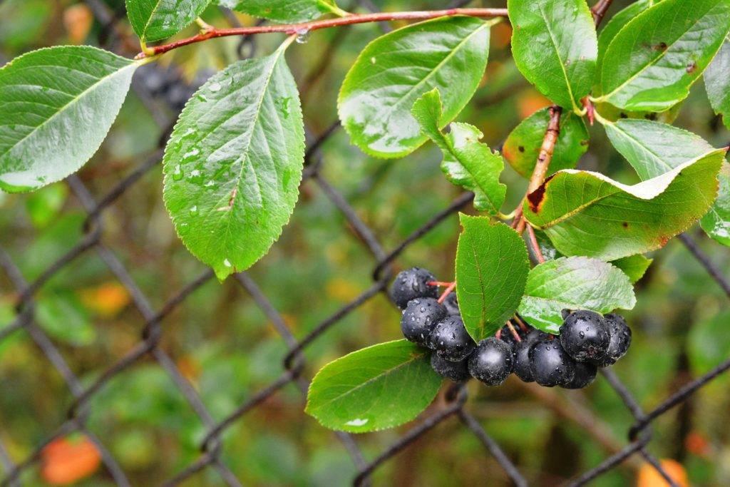 Что дает организму черноплодная рябина (арония) и кому она противопоказана?