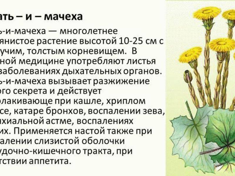 Растение мать-и-мачеха: лечебные свойства, применение у взрослых и детей