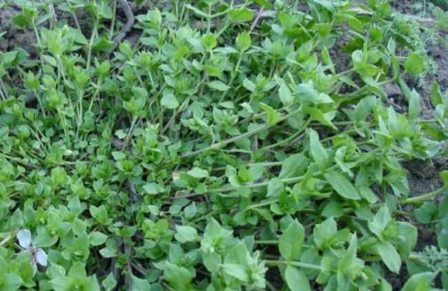 Трава мокрица в народной медицине