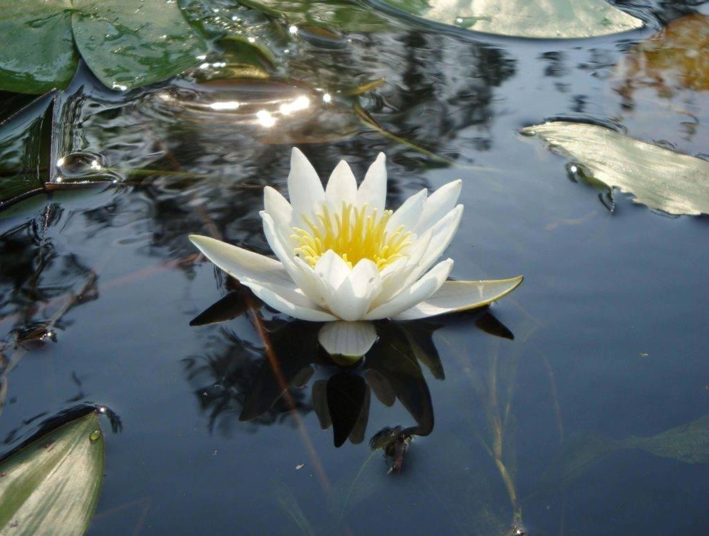 Кувшинка белая — описание растения, фото, применение в медицине и кулинарии