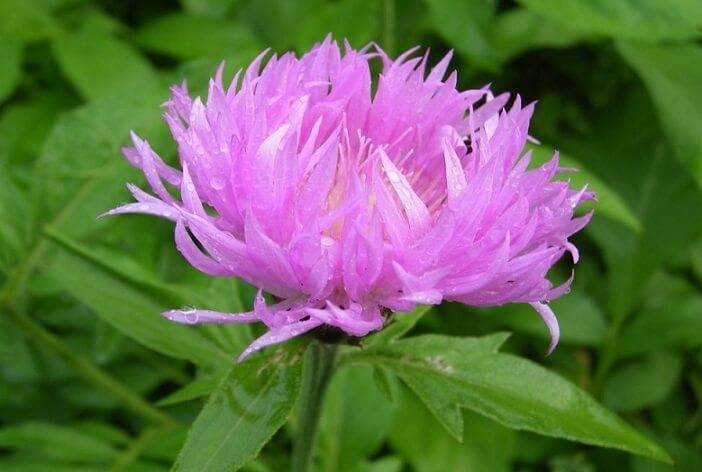 Левзея сафлоровидная (маралий корень): польза и вред, способы применения