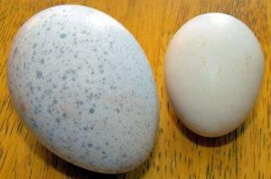 Индюшиные яйца: польза и вред