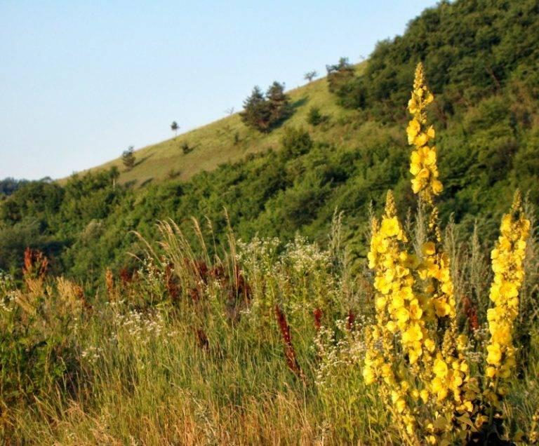 Целебное растение коровяк: лечебные свойства и противопоказания