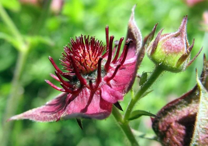 Сабельник болотный — применение, полезные свойства, противопоказания