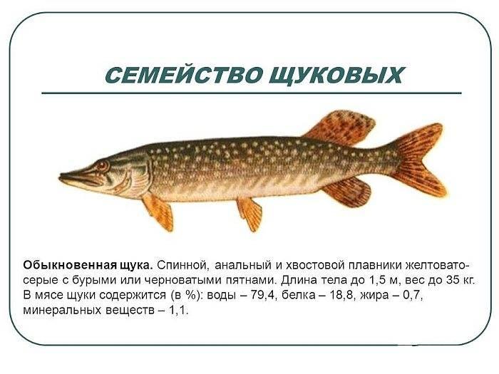 Щука – польза и вред речной хищницы для здоровья