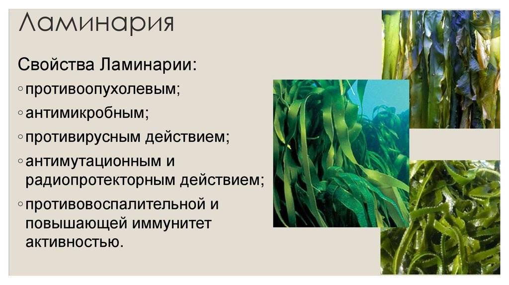 Чем полезна морская капуста, калорийность