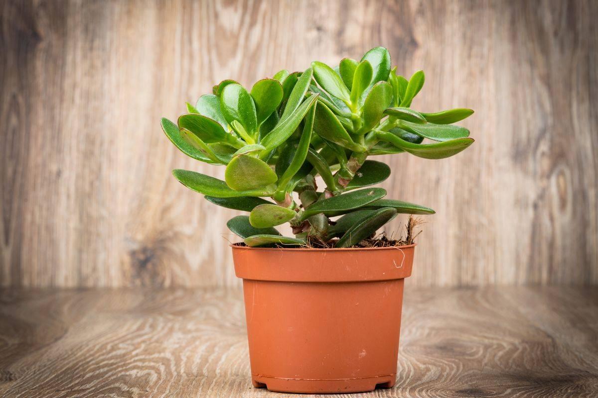 Полезные свойства денежного дерева (толстянки): как применять растение удачи в терапевтических целях