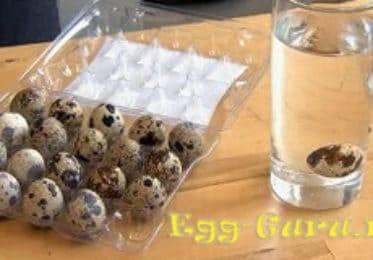 Как проверить свежесть перепелиных яиц в воде