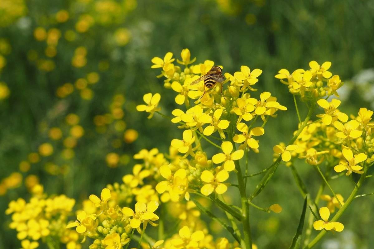 Трава желтушник: лечебные свойства и противопоказания, фото, посадка и уход