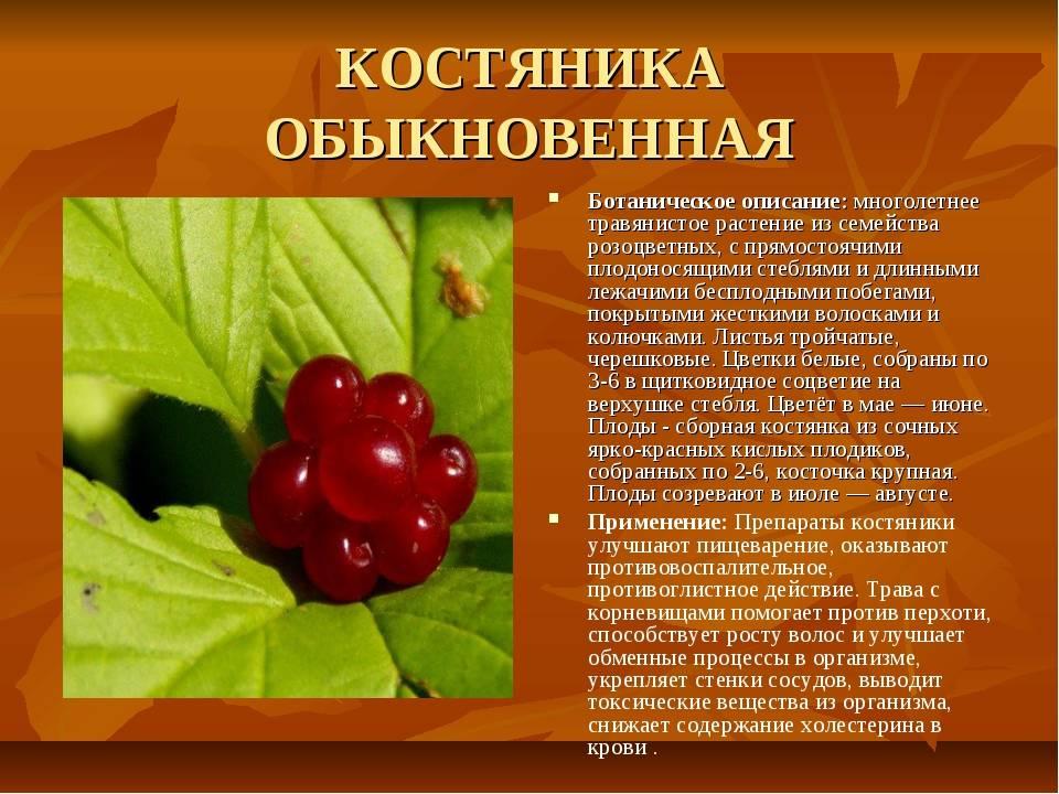 Костяника – описание и фото, польза и свойства ягод