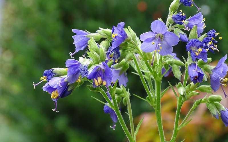 Трава синюха голубая: применение и противопоказания