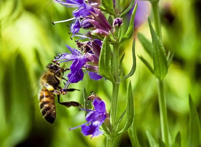Иссоп лекарственный: выращивание и применение