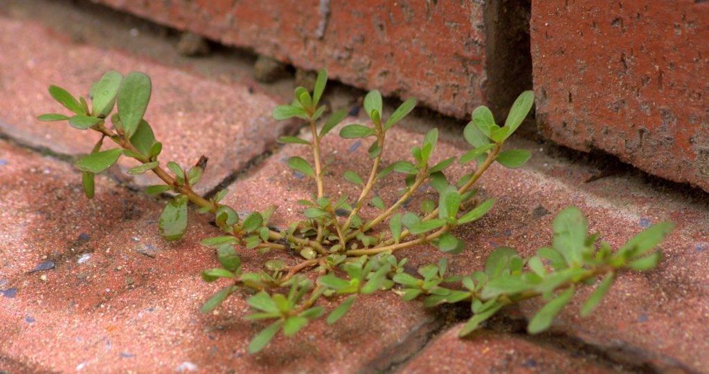 Портулак огородный— полезные свойства и рецепты применения