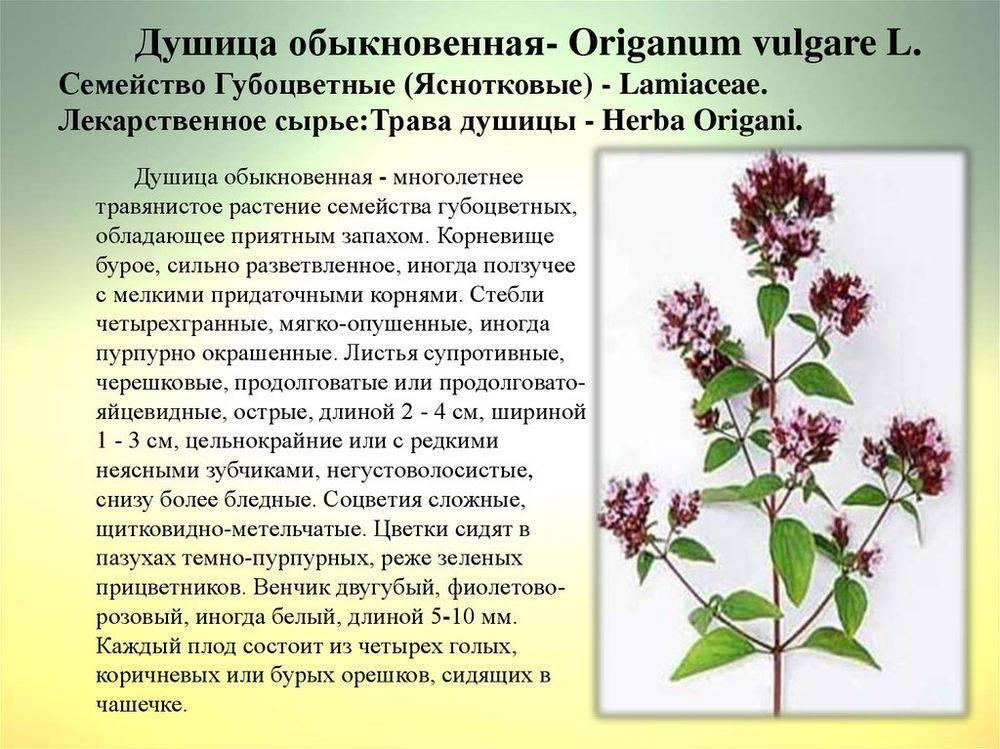 Подробное описание майорана, а также фото и рекомендации по выращиванию и применению